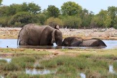 Paar van olifanten Stock Afbeeldingen