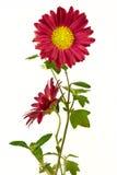 Paar van onbeschaafde chrysant Royalty-vrije Stock Foto's