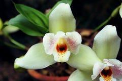 Paar van orchideebloem stock foto