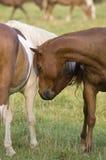 Paar van paarden het nuzzling Royalty-vrije Stock Foto