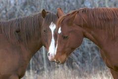 Paar van paarden in liefde stock foto