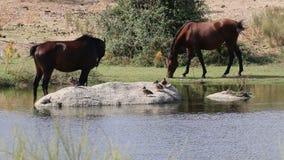 Paar van paarden in Los Barruecos, Extremadura, Spanje stock videobeelden