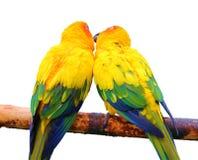 Paar van papegaaien het kussen Royalty-vrije Stock Fotografie