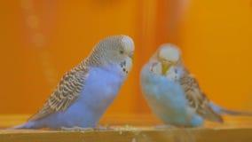 Paar van papegaaienschommeling op het geschommel stock video