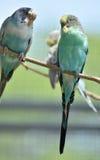 Paar van Pastelkleur Gemeenschappelijke Parkieten op een Tak Stock Fotografie