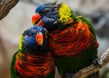 Paar van Regenboog Lorikeets Stock Afbeeldingen