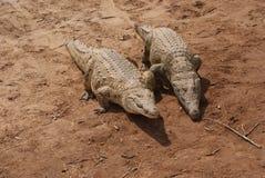 Paar van reptielen Stock Foto's
