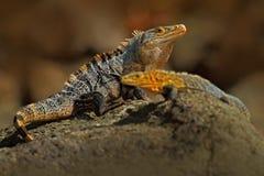 Paar van Reptielen, Zwarte Leguaan, Ctenosaura-similis, mannelijke en vrouwelijke zitting op zwarte steen, dier in de aardhabitat Royalty-vrije Stock Afbeelding
