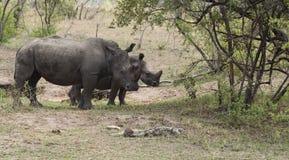 Paar van Rinoceros, Rinoceros, die aan recht, allebei lopen die rinoceroshoornen tonen stock foto