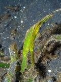 Paar van robuust spook pipefish, Solenostomus-cyanopterus Lembeh, Indonesië stock fotografie