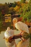 Paar van Rosy Pelicans bij het parkmeer in de Herfst royalty-vrije stock foto's