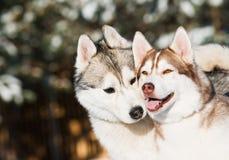 Paar van Siberische schor bij de winter Stock Afbeelding