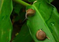 Paar van slakken op een blad Royalty-vrije Stock Afbeeldingen