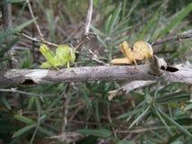 Paar van sprinkhaan op tak in Swasiland Stock Foto