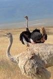 Paar van struisvogels Stock Afbeeldingen