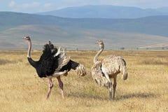Paar van struisvogels het kweken Royalty-vrije Stock Afbeeldingen