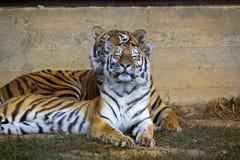 Paar van tijgers Royalty-vrije Stock Foto's