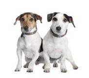 Paar van twee Jack russells (2 en 3 jaar oud) Stock Afbeelding