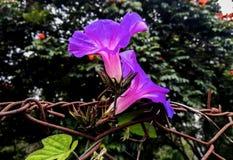 Paar van violette bloem stock afbeeldingen
