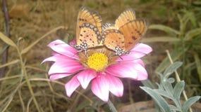 Paar van vlinders royalty-vrije stock foto's