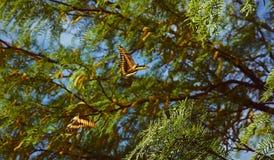 Paar van vlinders het vliegen royalty-vrije stock foto's