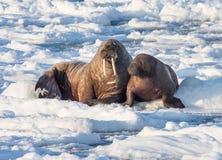 Paar van walrussen op het ijs - het Noordpoolgebied, Spitsbergen Royalty-vrije Stock Afbeeldingen