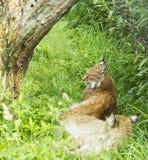 Paar van wilde lynx in gras onder boom het rusten Royalty-vrije Stock Afbeeldingen