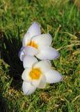 Witte krokussen Stock Afbeelding