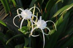 Paar van Witte lelie zoals bloemen met lange bloemblaadjes Royalty-vrije Stock Afbeeldingen