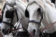 Paar van witte paarden met oogkleppen royalty-vrije stock foto's