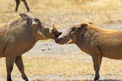 Paar van wrattenzwijnen het houden van Stock Foto's