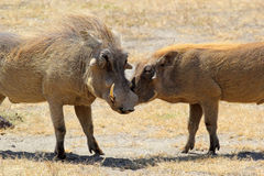 Paar van wrattenzwijnen het houden van Royalty-vrije Stock Foto