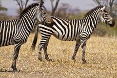 Paar van zebras Stock Afbeeldingen