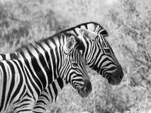 Paar van zebras Royalty-vrije Stock Foto's