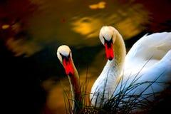 Paar van zwaan royalty-vrije stock afbeelding