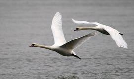 Paar van zwanen het vliegen Stock Afbeelding