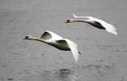 Paar van zwanen het vliegen Stock Fotografie