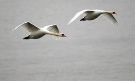 Paar van zwanen het vliegen Royalty-vrije Stock Afbeelding