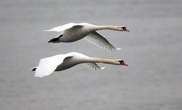 Paar van zwanen het vliegen Royalty-vrije Stock Fotografie