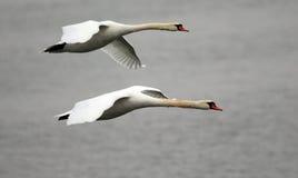 Paar van zwanen het vliegen Royalty-vrije Stock Foto's