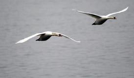 Paar van zwanen het vliegen Stock Afbeeldingen