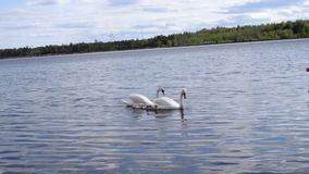 Paar van zwanen met de kinderen die van babykuikens op water drijven stock videobeelden