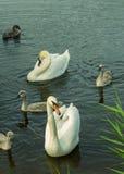 Paar van zwanen met kinderen Stock Foto's