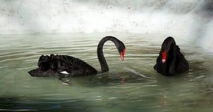 Paar van Zwarte Zwaan royalty-vrije stock afbeeldingen