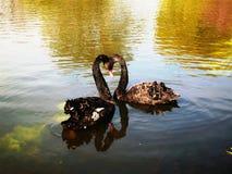 Paar van zwarte zwanen in liefde stock afbeelding