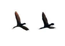 Paar vliegende aalscholvers Stock Fotografie