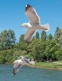 Paar vliegende meeuwen Stock Afbeeldingen