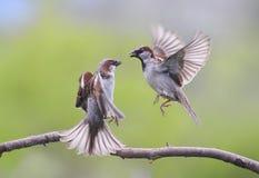 paar vogels die en vleugels het kwade debatteren vliegen golven Royalty-vrije Stock Foto's