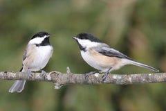 Paar Vogels op een Tak Royalty-vrije Stock Foto