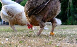 Paar volwassen kleine kippen die het weiden voor voedsel op een gazon zien die, tijdens de zomer wordt gezien royalty-vrije stock afbeeldingen